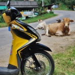 scooter and cow in thailand