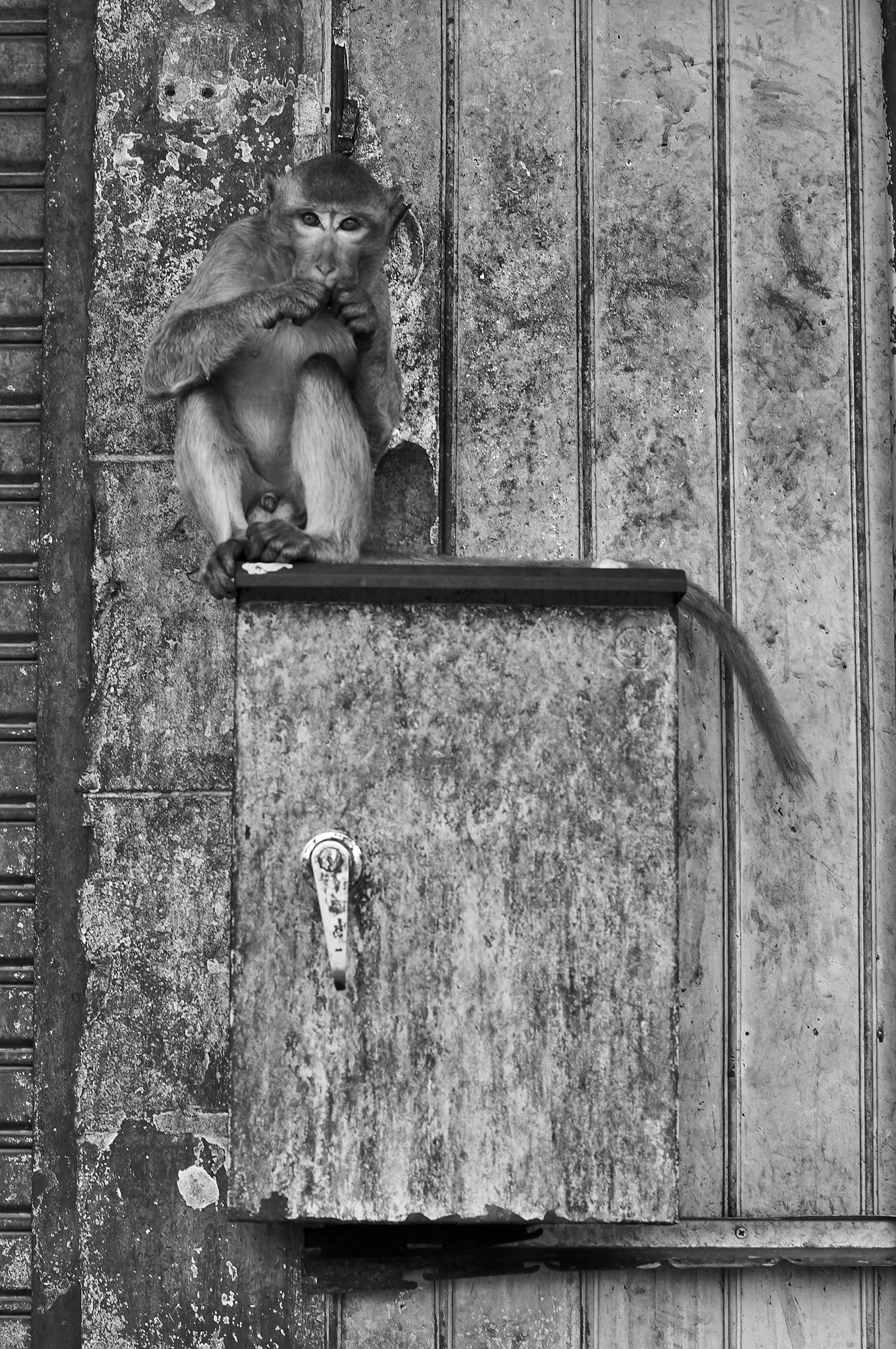 lopburi monkey box