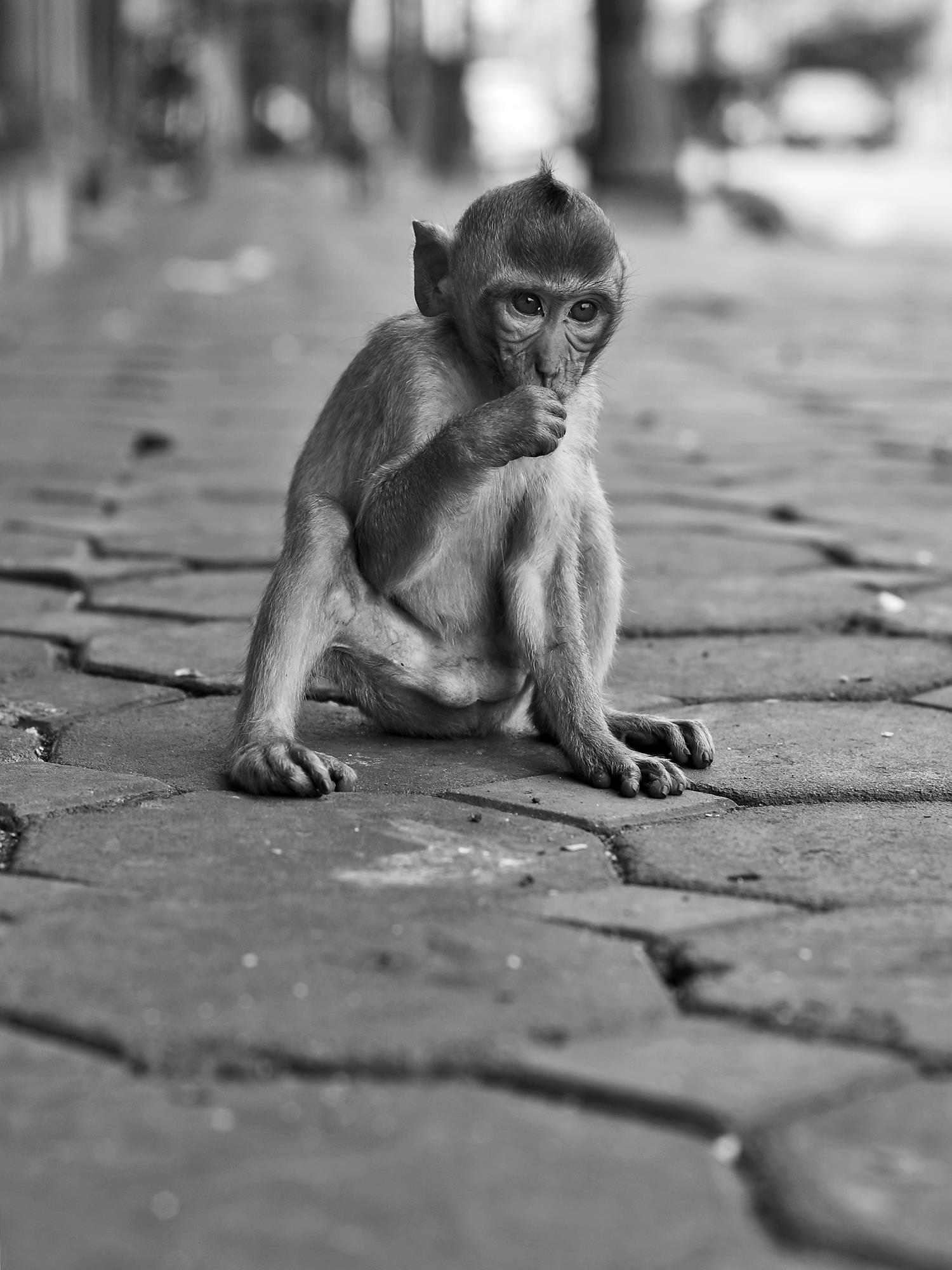 lopburi small monkey