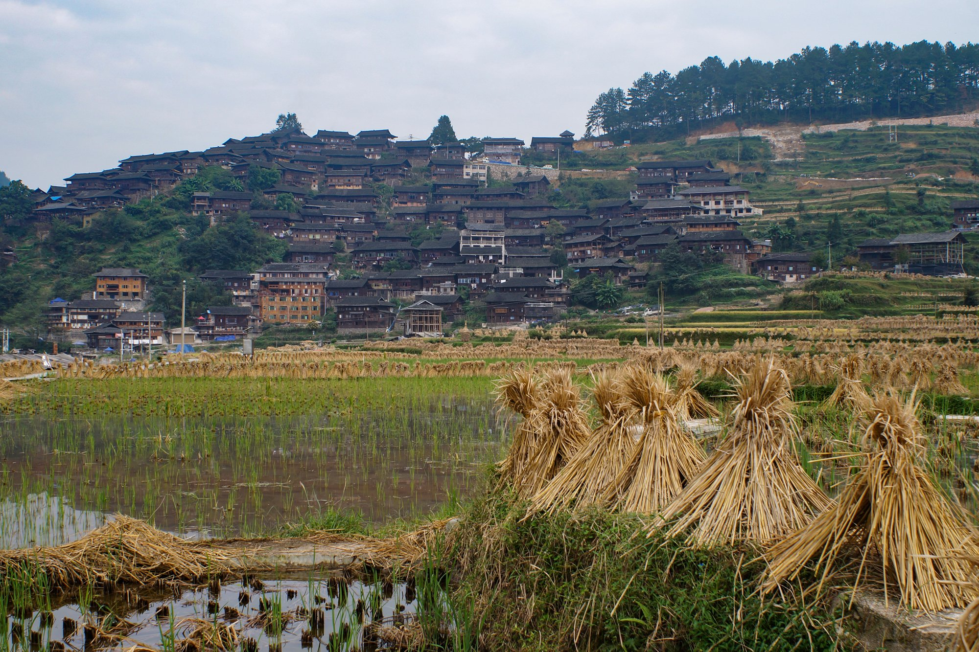 chinese rice field