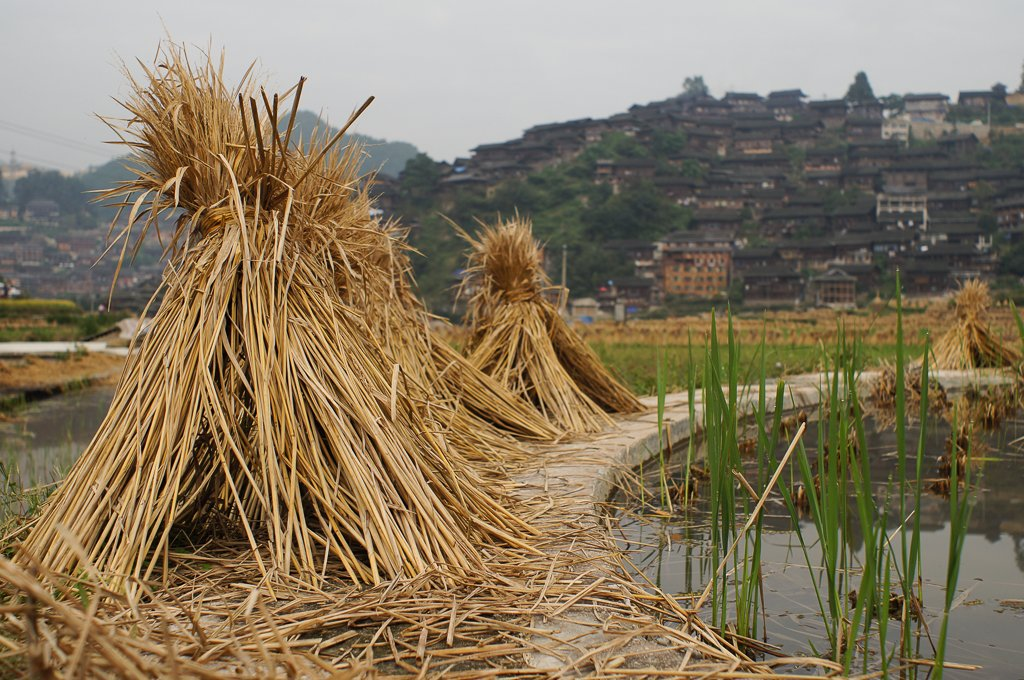 rice harvest rural china