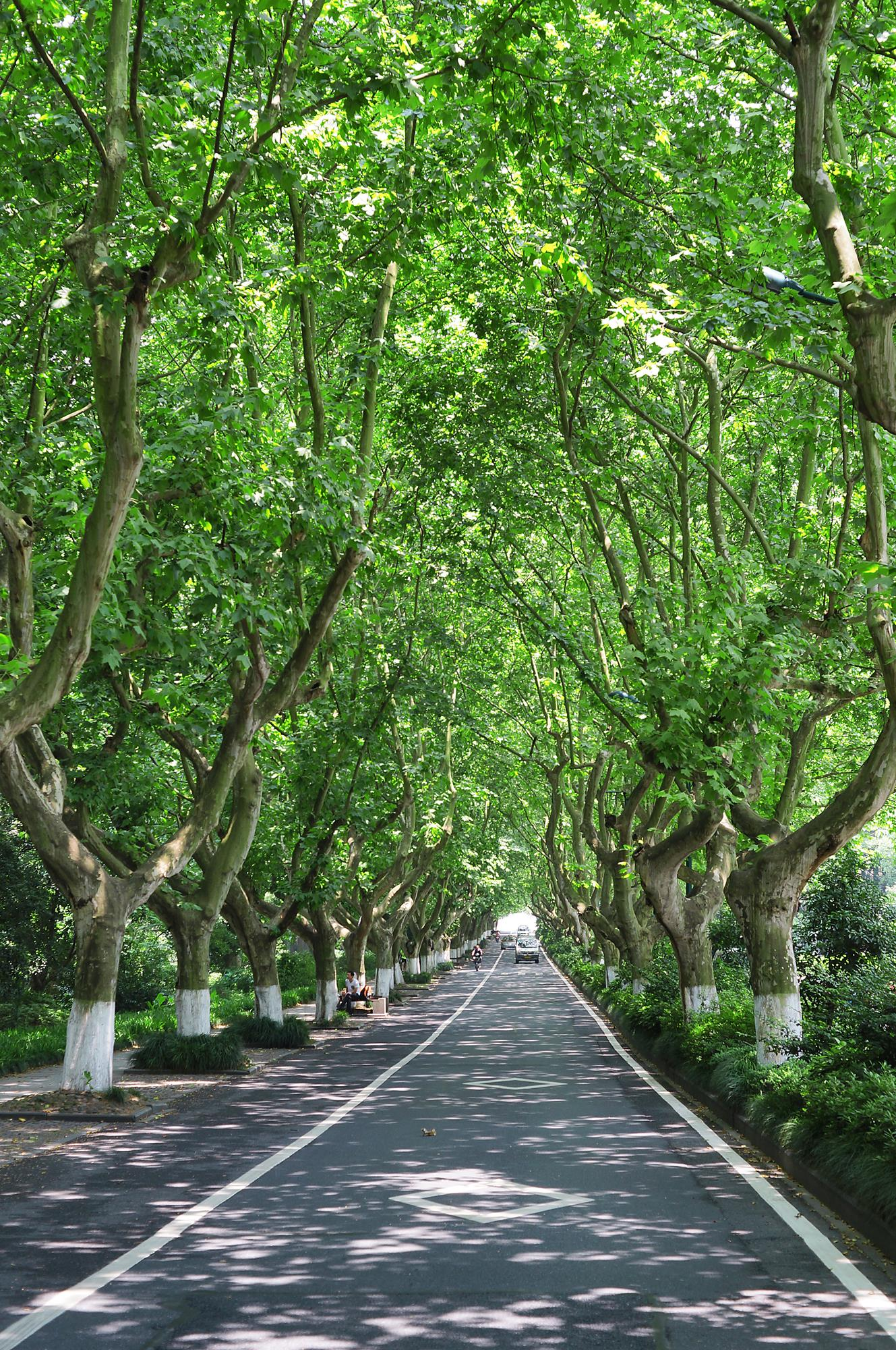 road lined with trees hangzhou china