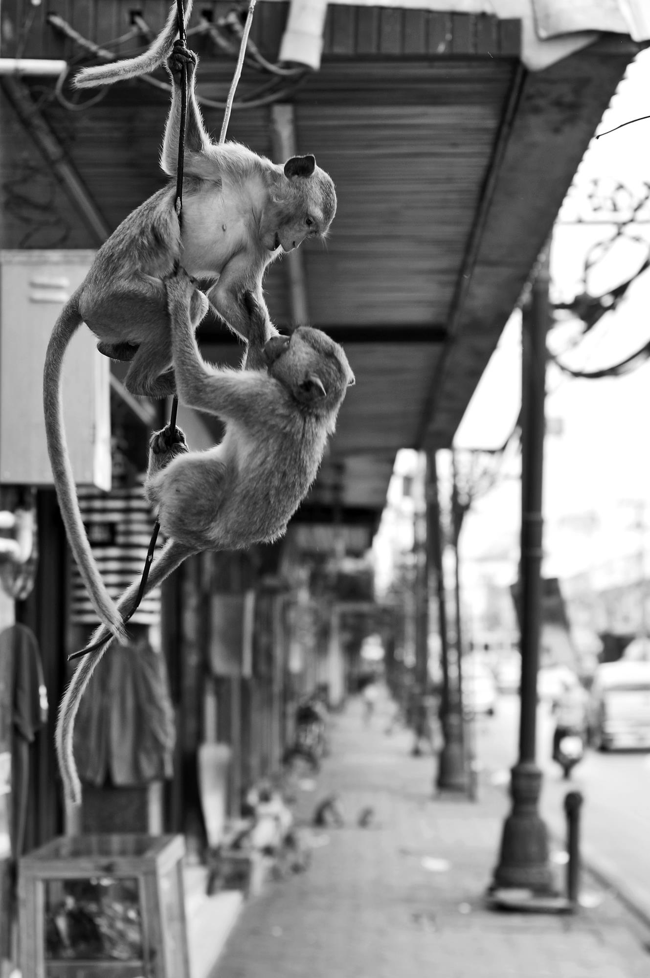 fighting monkeys lopburi