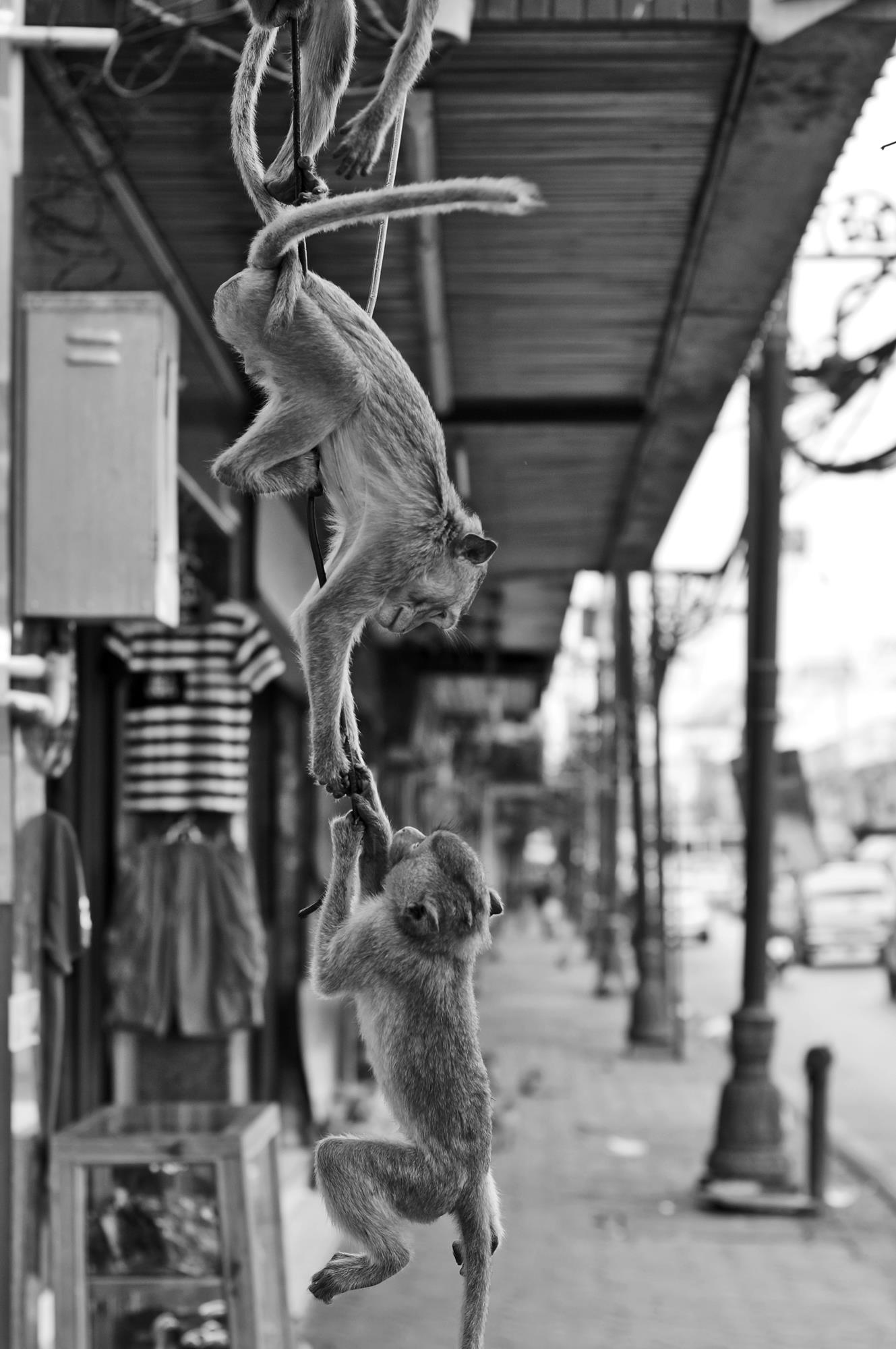 lopburi, thailand monkey fight