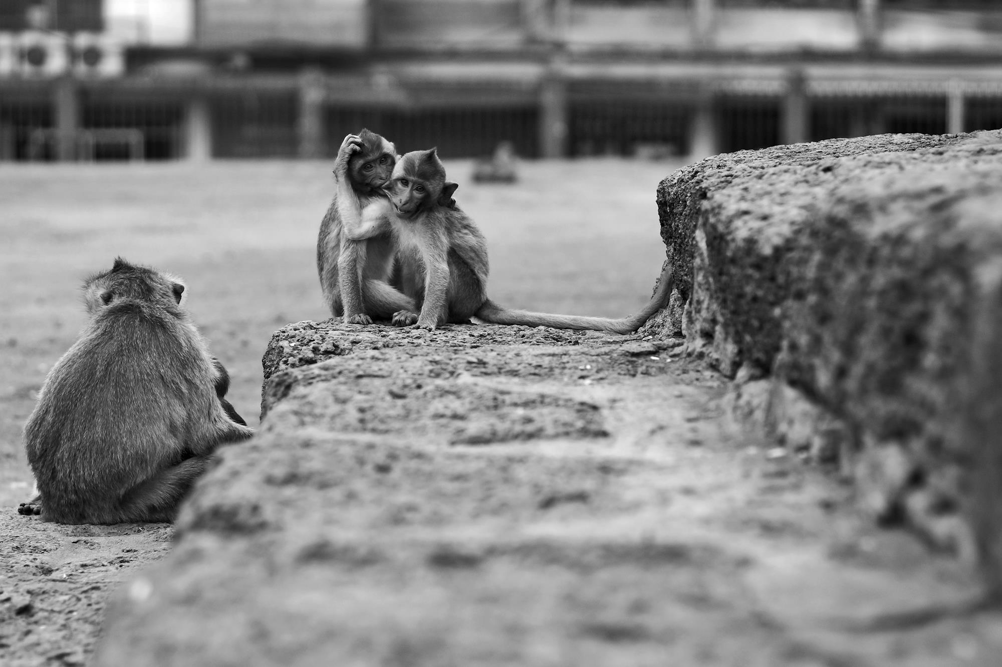 thailand monkeys lopburi